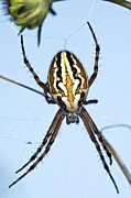 Araneidae Posters - Orb-weaver Spider On Its Web Poster by Paul Harcourt Davies