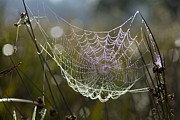 Orb Weaver Framed Prints - Orb-weaver Spider Webs Framed Print by Dr Keith Wheeler
