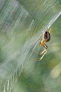 Awaiting Prints - Orb Web Spider On Its Web Print by Adrian Bicker