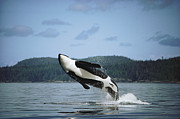 Featured Art - Orca Male Breaching Johnstone Strait by Flip Nicklin