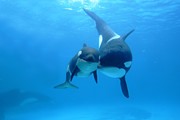 Cetaceans Posters - Orca Orcinus Orca Mother And Newborn Poster by Hiroya Minakuchi