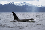 Marine Mammal Prints - Orca Orcinus Orca Surfacing Print by Konrad Wothe