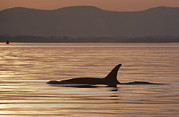 Atlantic Killer Whale Framed Prints - Orca Orcinus Orca Surfacing, North Framed Print by Gerry Ellis