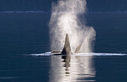 Backlit Prints - Orca Pair Spouting Southeast Alaska Print by Flip Nicklin