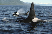 Spouting Prints - Orca Pod Surfacing Johnstone Strait Print by Flip Nicklin
