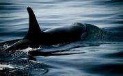 Whale Watching Prints - Orca Whale Print by Craig Perry-Ollila