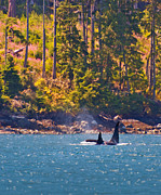 Orca Digital Art - Orcas by the Shore by Jeanette Mahoney