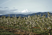 Oregon Photos Framed Prints - Orchard at Mount Hood Framed Print by Andrea Hazel Ihlefeld