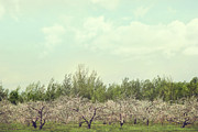 Apple Tree Posters - Orchard of apple blossoming tees Poster by Sandra Cunningham