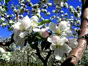Apple Blossoms Prints - Orchard Ovation Print by Will Borden