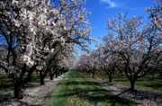 Tree Photographs Prints - Orchard Trees Blossoming Print by Kathy Yates