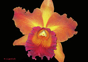 Kerri Ligatich Prints - Orchid - Colors of a Sunset Print by Kerri Ligatich
