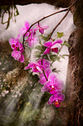 Wet Orchids Framed Prints - Orchid - Tropical Passion Framed Print by Mike Savad