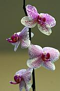 Orchid 16 Print by Marty Koch