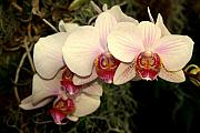 Orchid 19 Print by Marty Koch