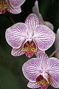 Orchid 22 Print by Marty Koch