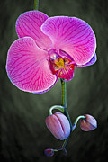 Trio Prints - Orchid and Buds Print by Susan Candelario