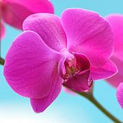 Tropical Photographs Photo Prints - Orchid at the Ocean Closeup Print by Michi Sherwood