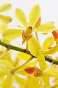 Nature Scene Photo Originals - Orchid by Atiketta Sangasaeng