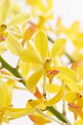 Orchid Bunch Print by Atiketta Sangasaeng