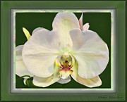 Natures Flower Garden Mixed Media Posters - Orchid Captive  Poster by Debra     Vatalaro