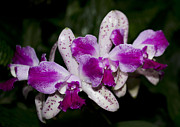 Cattleya Posters - Orchid Cattleya Hawaiian Variable 2 of 2 Poster by Terri Winkler