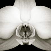 Orchid Flower Posters - Orchid Poster by David Bowman