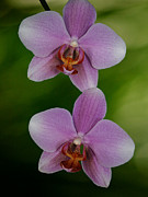 Florida Flowers Metal Prints - Orchid Delight Metal Print by Adele Moscaritolo