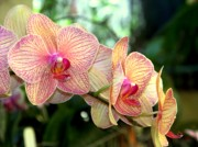 Golden Pink Orchid Photos - Orchid Delight by Karen Wiles