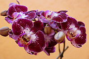 Orchids Art Print Framed Prints - Orchid Elegance  Framed Print by Carmen Del Valle