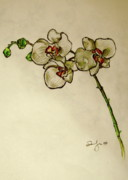 Orchids Drawings - Orchid by Emily Jones