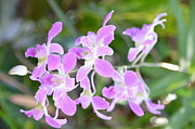 JISS JOSEPH - orchid flower