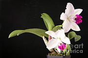 Cattleya Art - Orchid In Bloom by Ted Kinsman