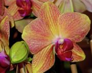 Orchid Print by Lynda Lehmann