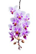 Orchid Print by Meirion Matthias