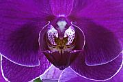 Flower Macro Prints - Orchid No. 1 Print by Harry H Hicklin