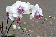 Orchids Art - Orchid Please by Tammy  Shiver