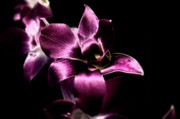 Flower Photography Photos - Orchid by Sheryl Thomas