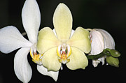 Carolyn Marshall Posters - Orchid Trio Poster by Carolyn Marshall