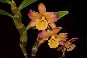 Dendrobium Photos - Orchid Triplets by Joanne Smoley