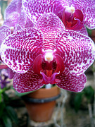Wildlife And Nature Photos Art - Orchid VI by Kevin Feeley
