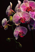 Orchidaceae Framed Prints - Orchidaceae Gravitas Framed Print by Bill Tiepelman