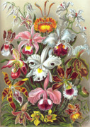 Husband Drawings Posters - Orchidae Orchids Poster by Ernst Haeckel