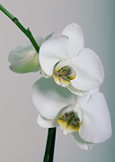Orchidee Print by Falko Follert