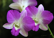 Dendrobium Photos - Orchids - Best Friends by Kerri Ligatich