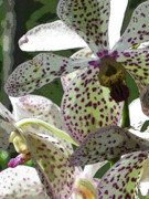 Kerri Ligatich Digital Art - Orchids - Purple Polka Dots by Kerri Ligatich