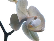 Orchids Digital Art Prints - Orchids 1 Print by Mike McGlothlen