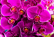 Ocularperceptions Metal Prints - Orchids A Plenty Metal Print by Christopher Holmes