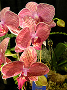 Orchid Show Posters - Orchids Beauties - A Poster by Wayne Sheeler