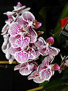 Orchid Show Prints - Orchids Beauties - F Print by Wayne Sheeler
